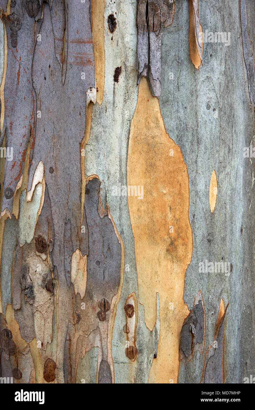 Texture and patterns in this close-up of bark on gum tree. - Stock Image