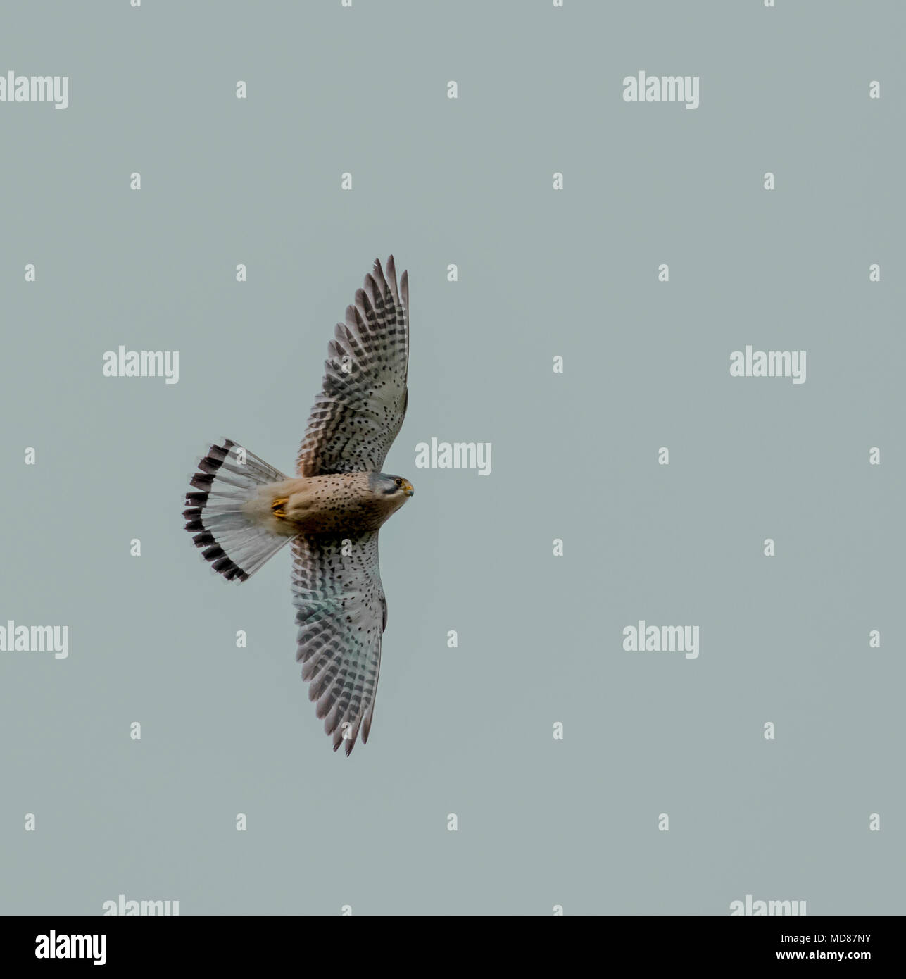 A male common kestrel hovering (UK) - Stock Image