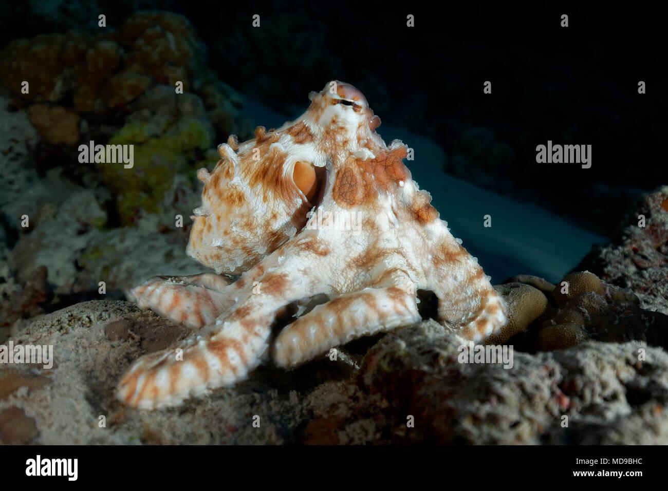 Common Octopus (Octopus vulgaris), at night, Indian Ocean, Maldives - Stock Image
