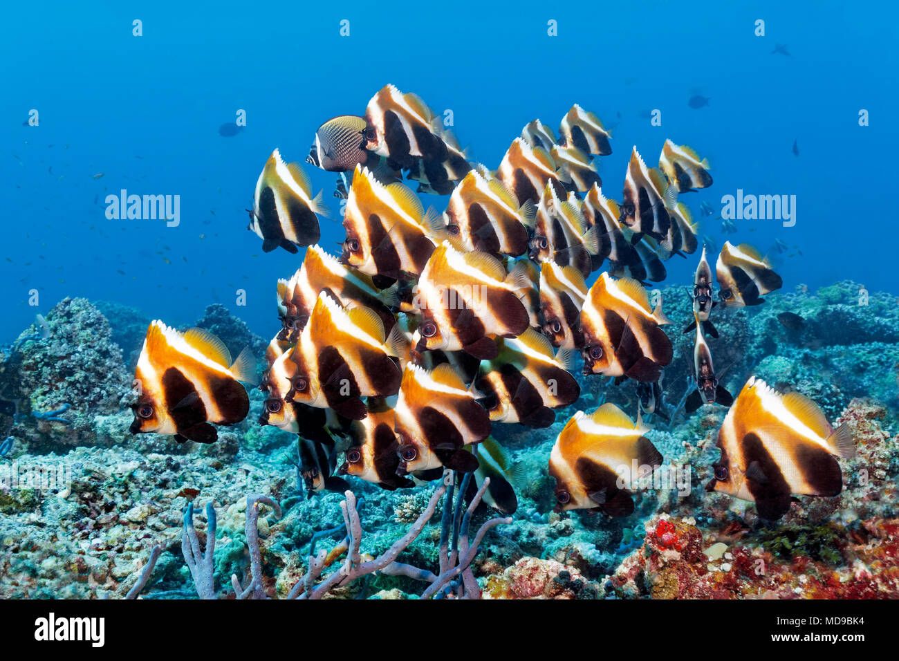 Fish swarm phantom bannerfish (Heniochus pleurotaenia) Indian Ocean, Maldives - Stock Image