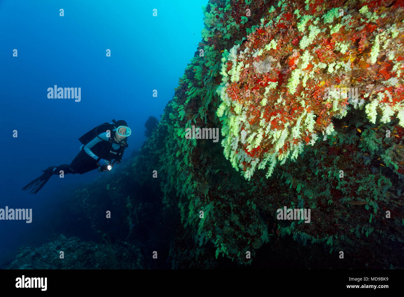 Diver looks at wall of coral reef with soft corals (Alcyonacea) yellow, hanging, Indian Ocean, Maldives Stock Photo