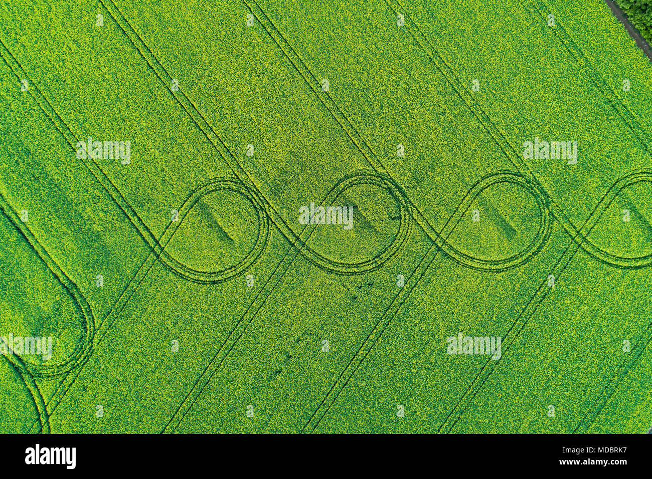 Tire tracks in yellow rapeseed field, near Methven, Mid Canterbury, South Island, New Zealand - drone aerial - Stock Image