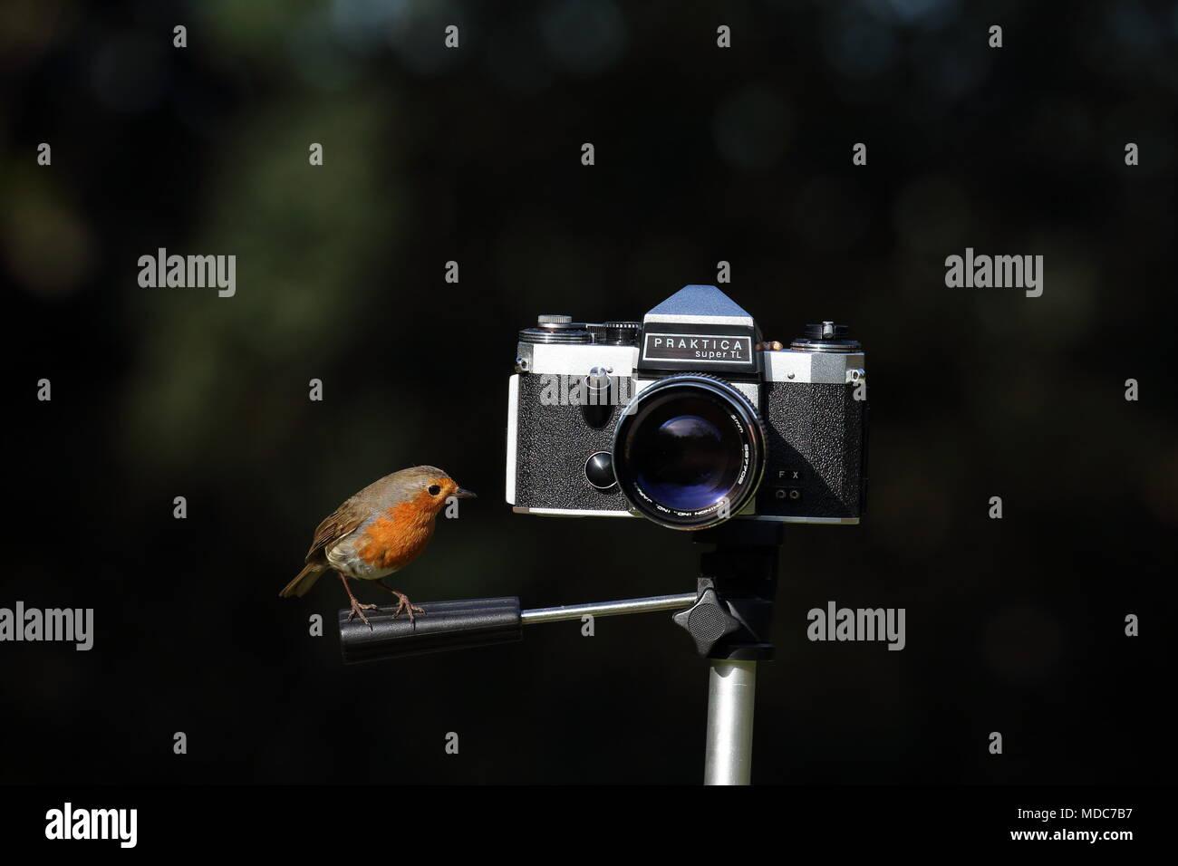 Robin looking at Praktica Camera - Stock Image