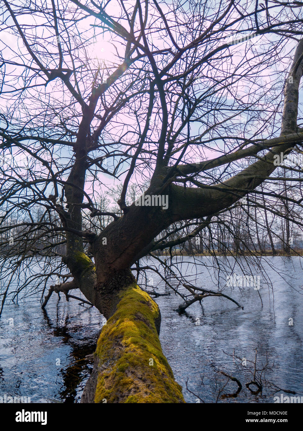 Mossy gnarly leafless tree with sun shadows in horizontal growth at the border of a lake with sun reflections at a beautiful sunny day - Stock Image