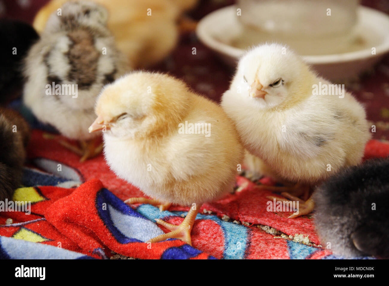 The chickens are asleep after a rich lunch. - Stock Image