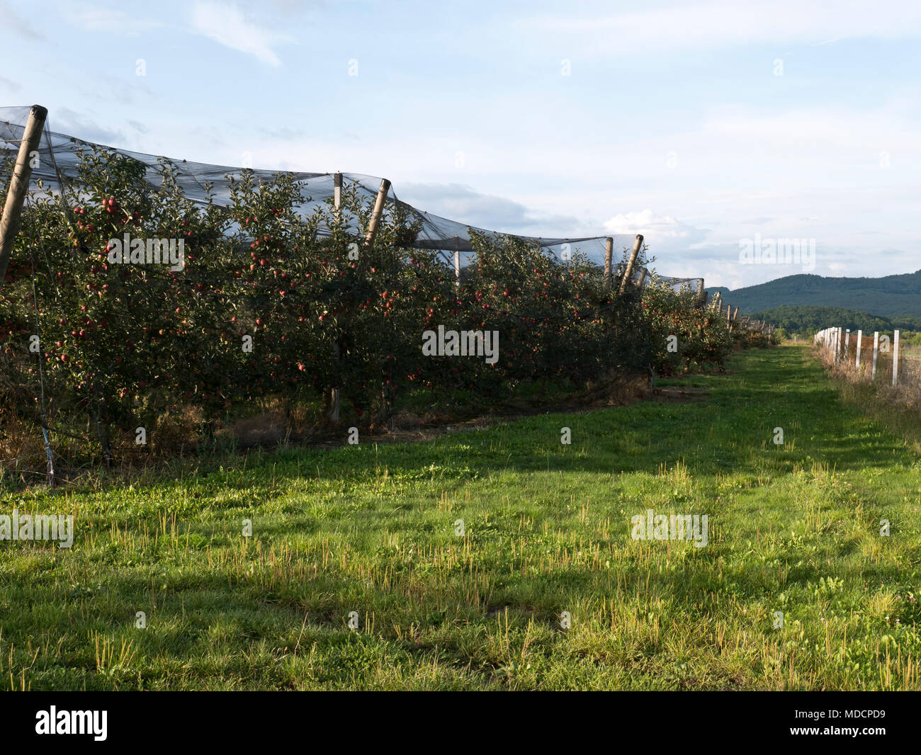 ripe apple orchard covered with protection net - Stock Image