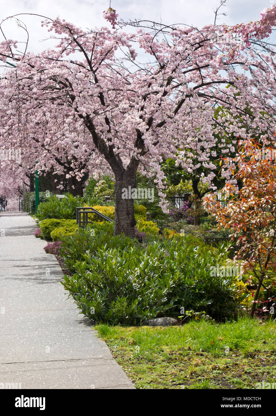 Flowering Yoshino Cherry Tree Akebono Prunus Yedoensis In A Greater Vancouver Neighbourhood Cherry Blossoms In The Spring In Metro Vancouver Stock Photo Alamy