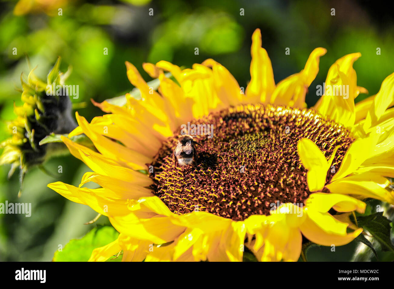 Close up of a bee on a sunflower (Helianthus annuus). Diaphanous wings shimmer on bright yellow flower, on green bokeh background - Stock Image