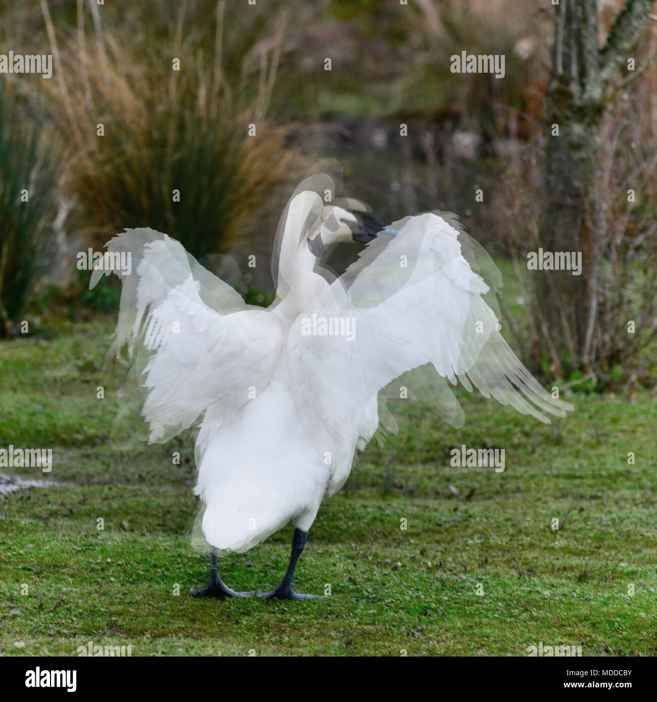 Composite image of six images showing a swan flapping it's wings in one image - Stock Image