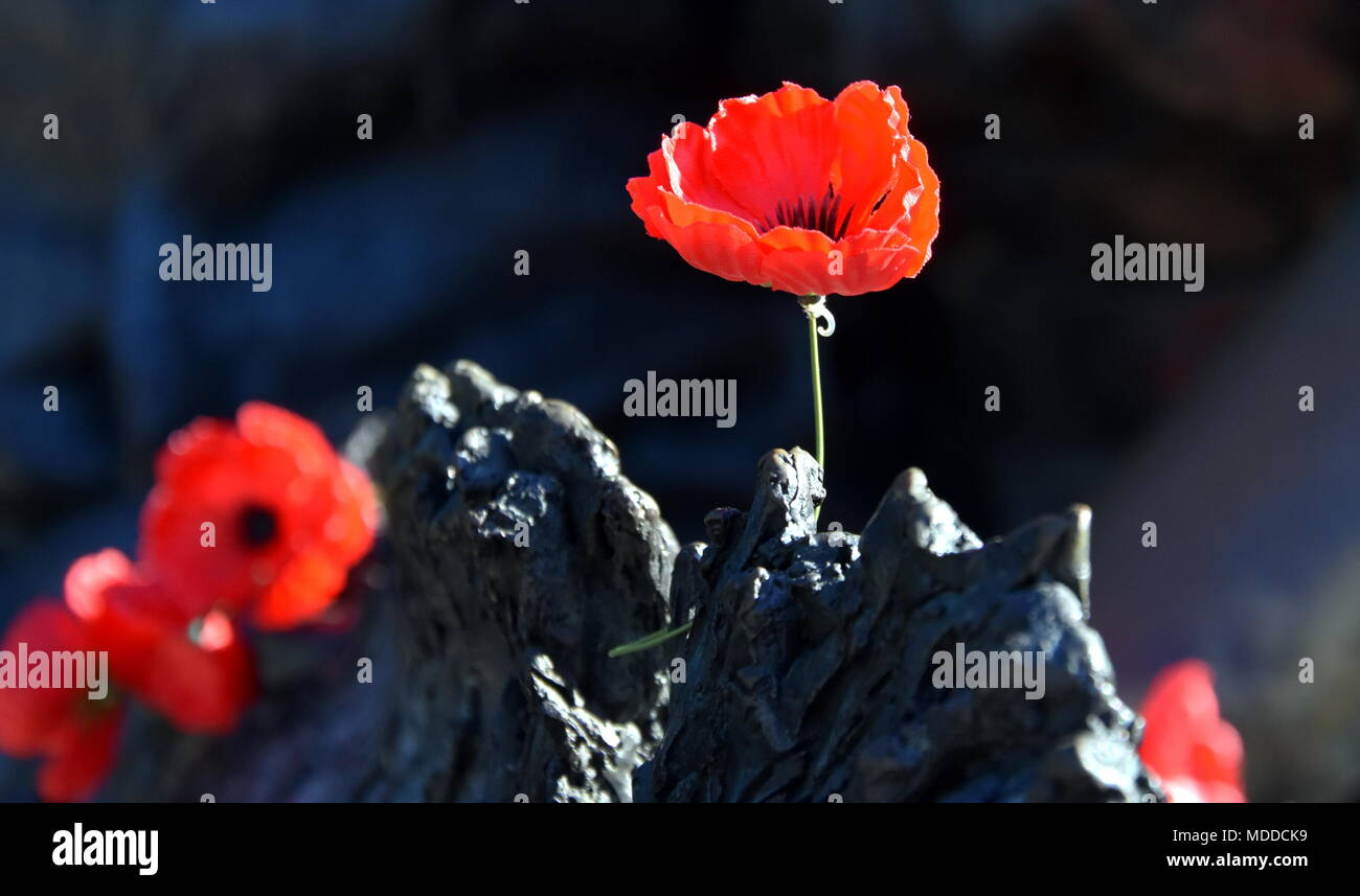 Poppies On A Rock At The Australian War Memorial In Canberra The
