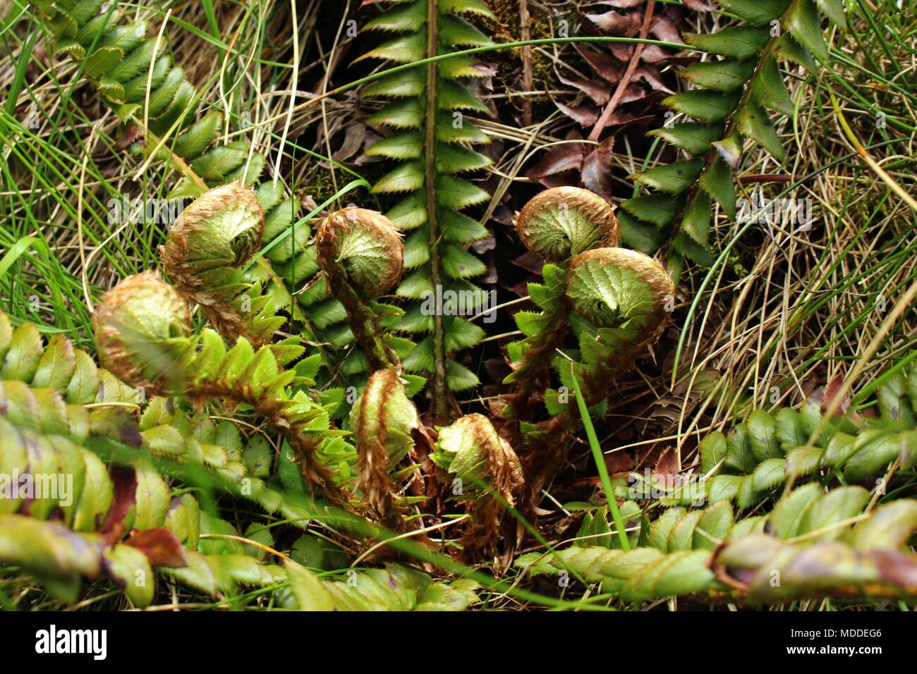Curled young leaves of fern Stock Photo