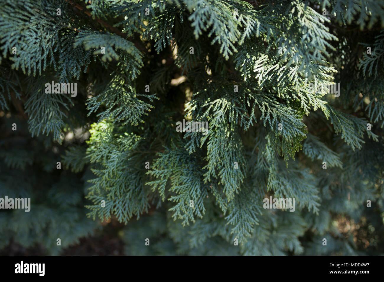 Close up of white cedar bush, almost grey in color. In Sweden. - Stock Image