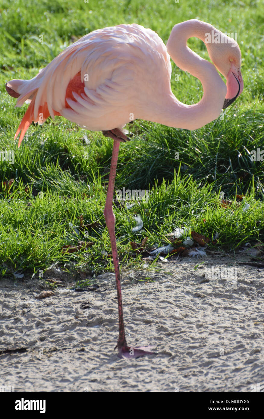 A Greater Flamingo standing on one leg - Stock Image