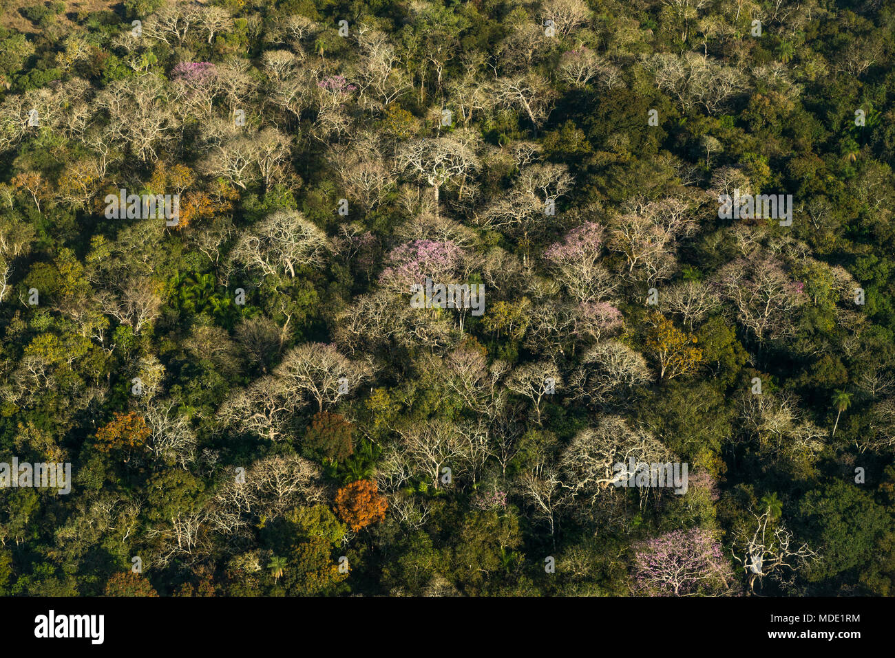 Semi deciduous forest in the Pantanal of Brazil during the dry season - Stock Image