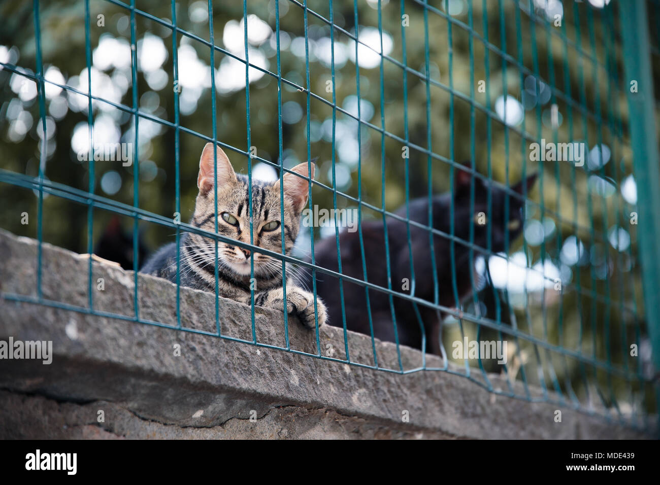 Two cats relaxing and staring in Montepulciano Village, Tuscany - Stock Image