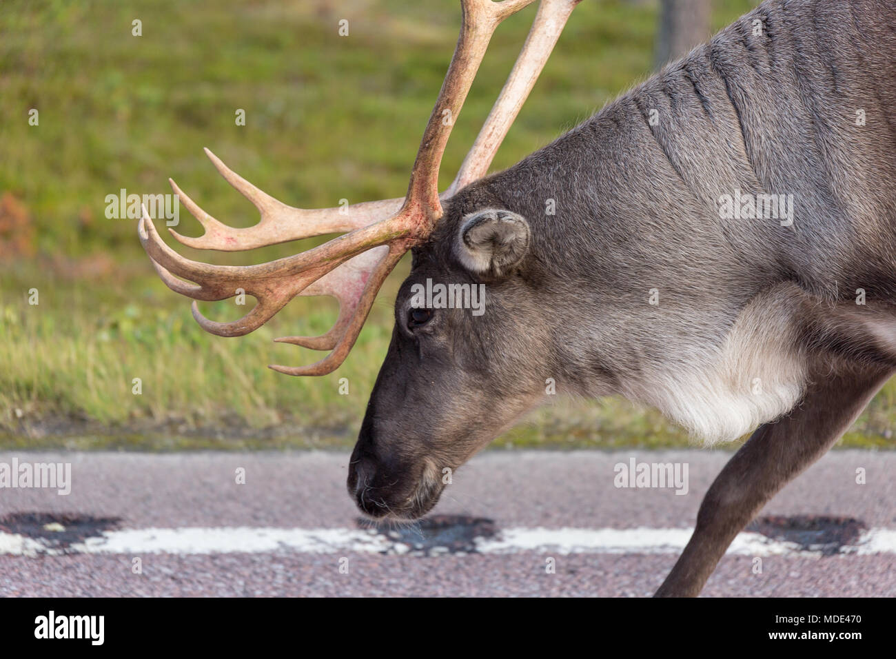 Reindeer with bloody antlers walking on the side of the road - Stock Image