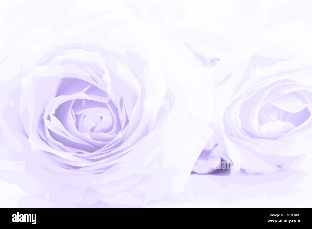 Soft full blown ultraviolet roses as a neutral background. Close up. - Stock Image