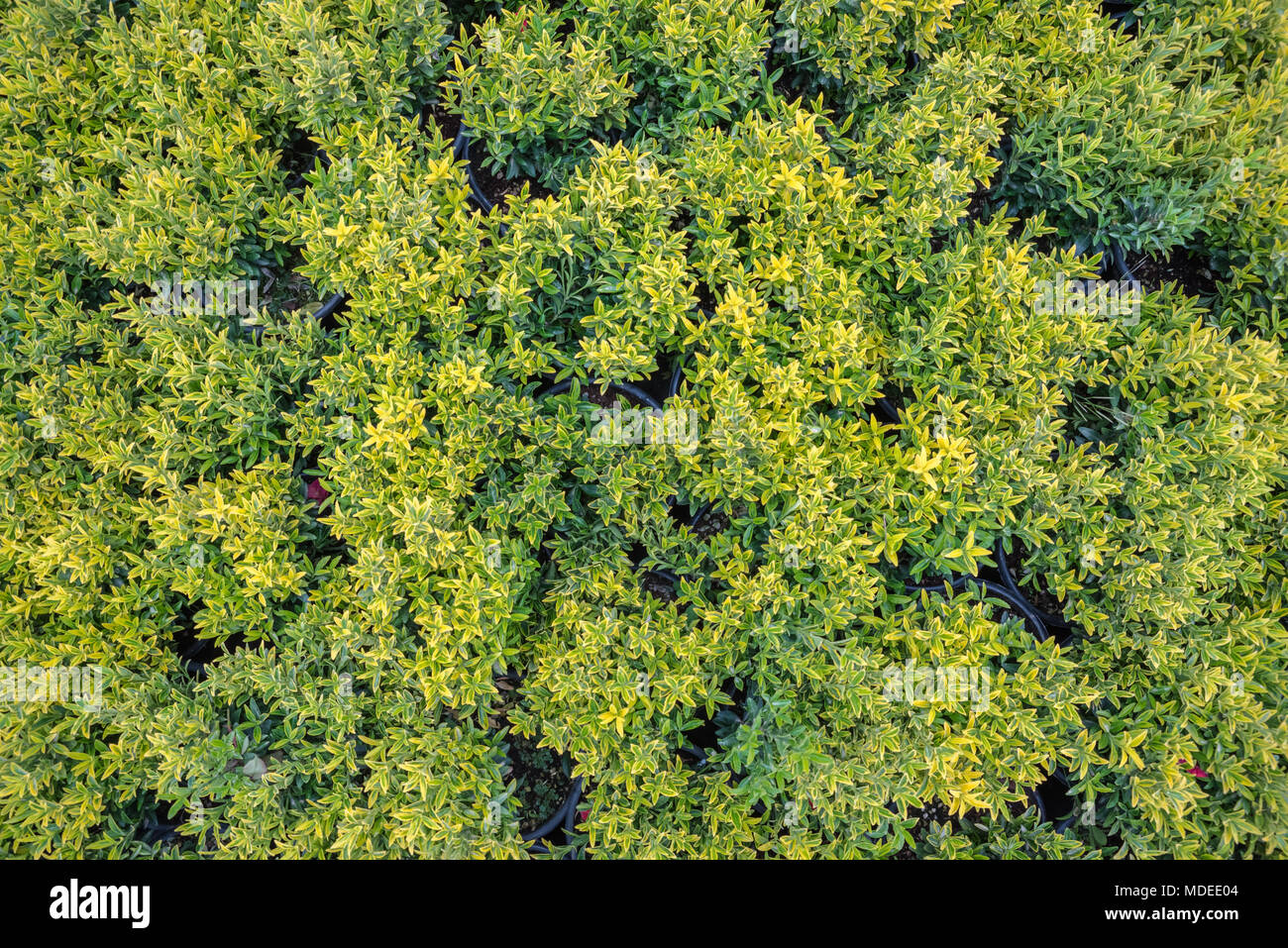 Fortune spindle (Euonymus fortunei) in garden. Detail of emerald golden leaves of winter creeper.Hedge of the Golden spindle tree. - Stock Image