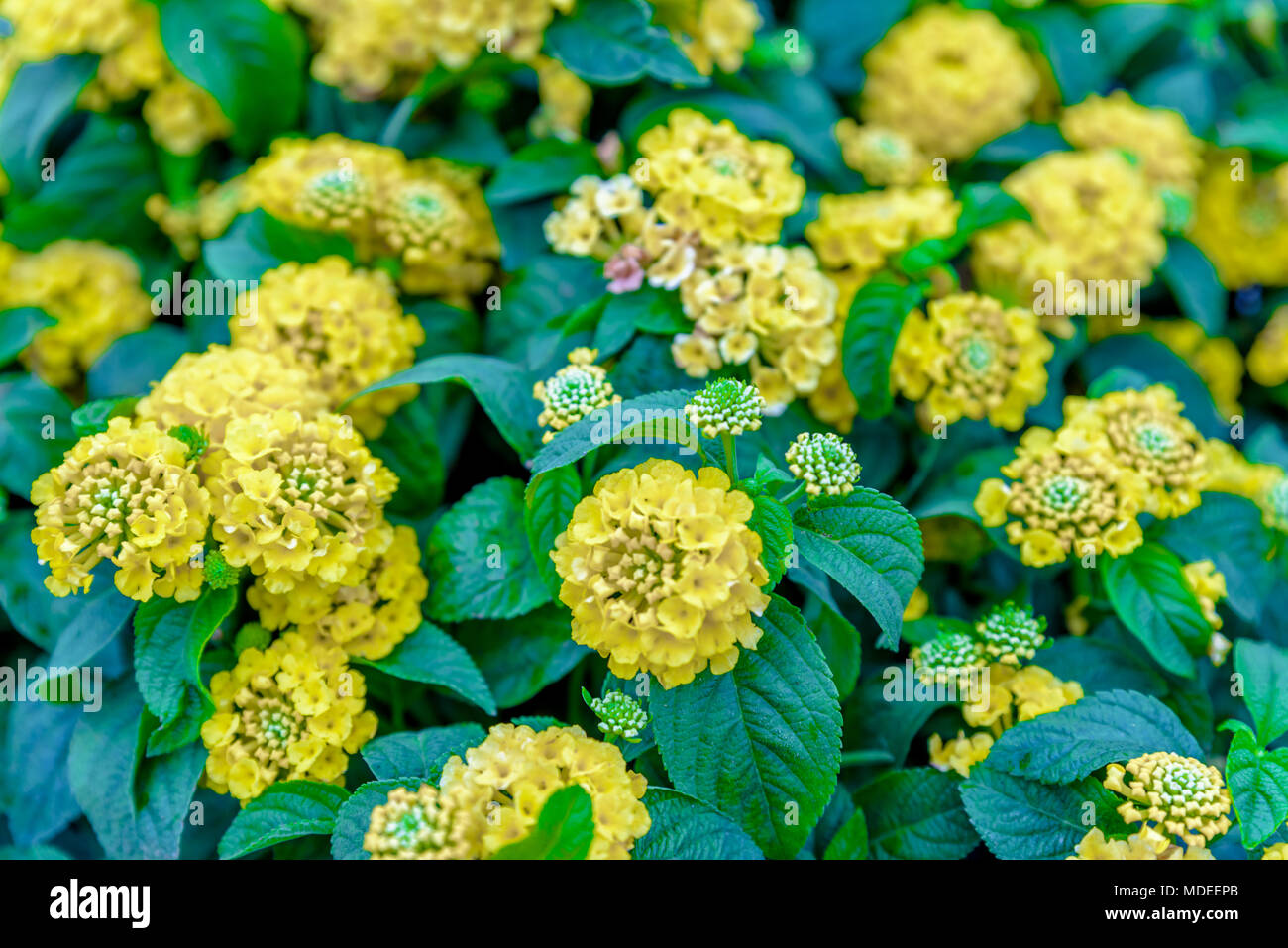 Top View Of Yellow Lantana Camara Or In Different Names With Big