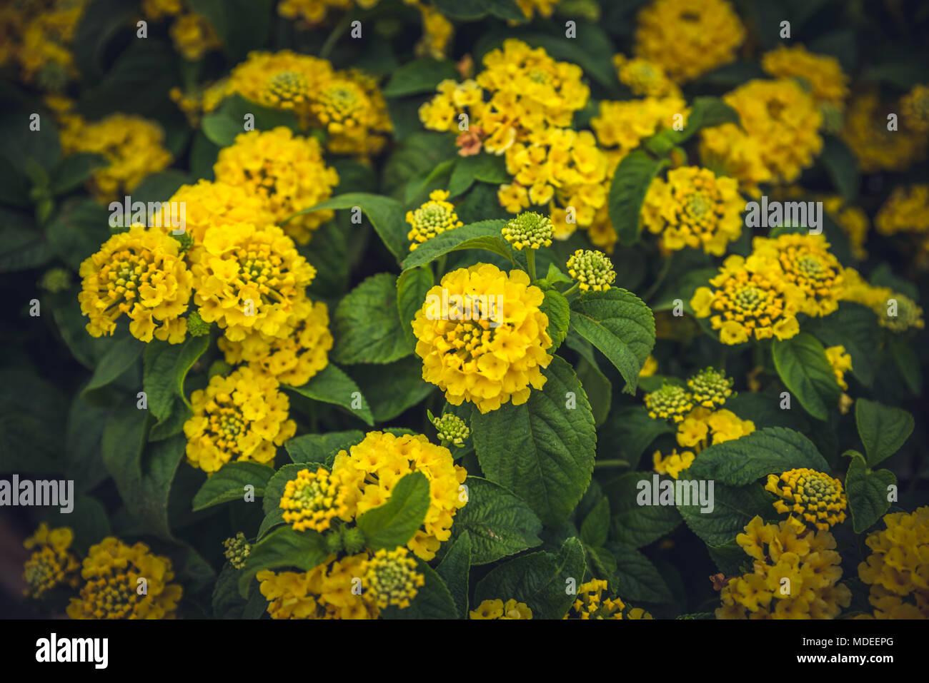 Top view of Yellow Lantana camara or in different names with big-sage (Malaysia), wild-sage, red-sage, white-sage , tickberry, verbena Stock Photo