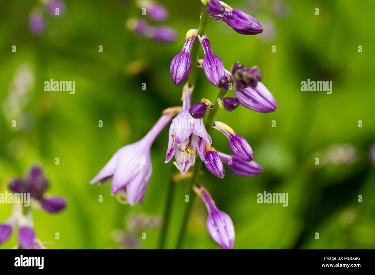 Hosta Plant Blooming In The Morning Sun Stock Photo 180414698 Alamy