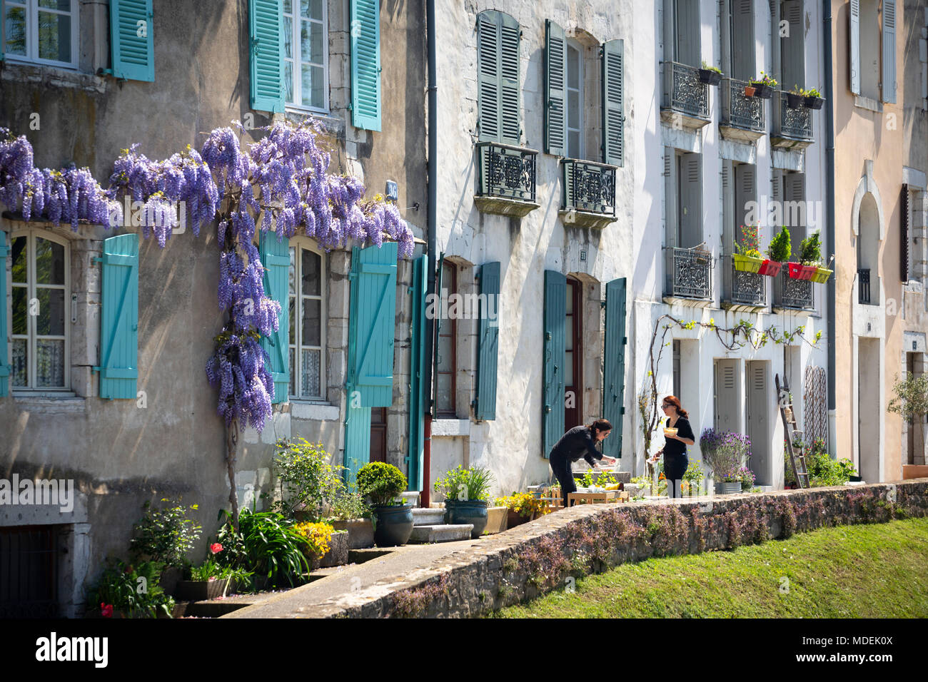 A Wisteria growing on the frontage of a storeyed house of the Grand Bayonne district (Bayonne - Atlantic Pyrenees - Aquitaine - France). - Stock Image