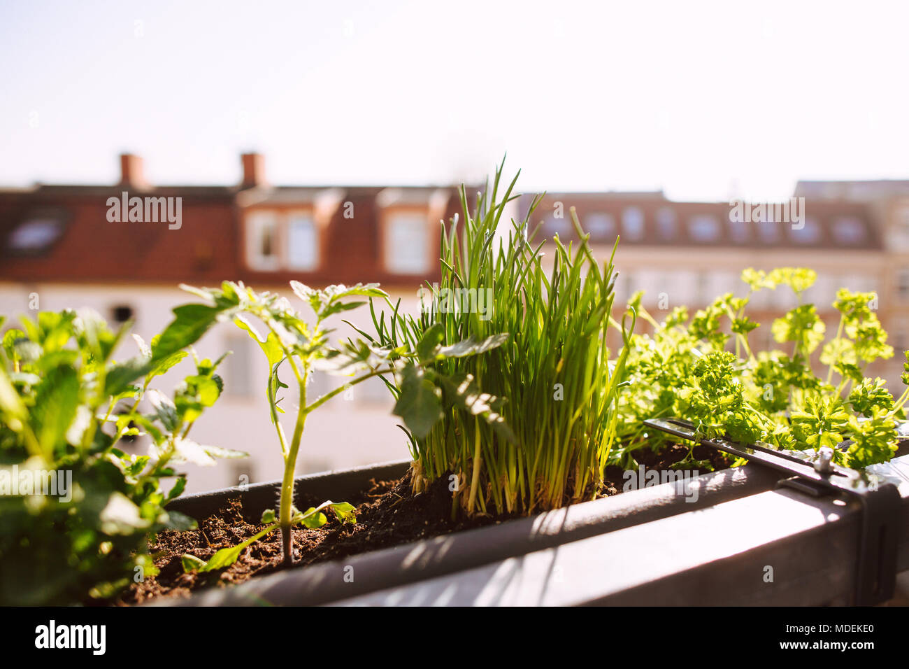 flower-box with growing fresh herbs on the balcony - Stock Image