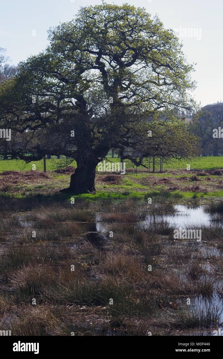 Mature English Oak Tree by a Wild Pond in Devon Farmland  Powderham