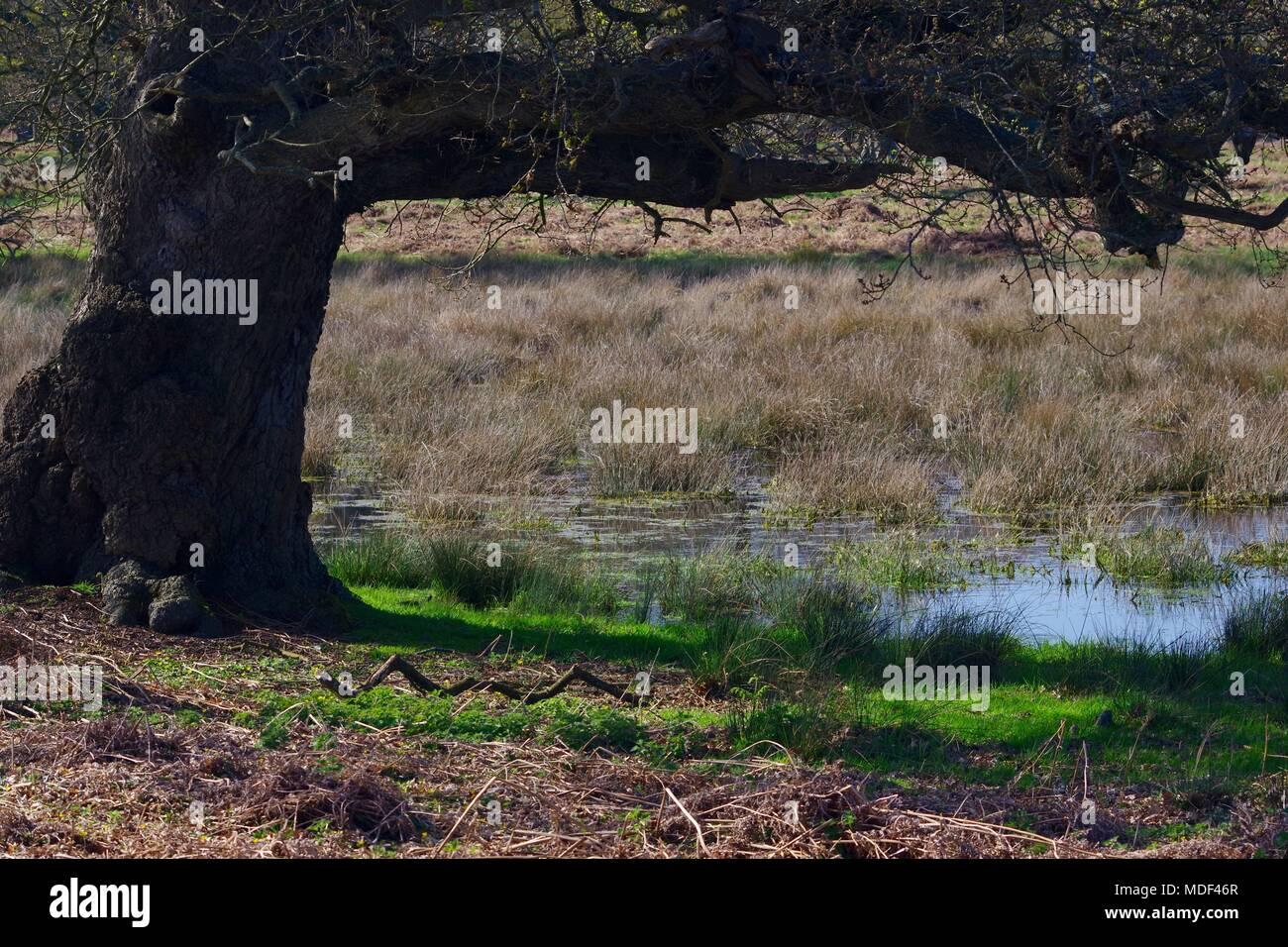 Mature English Oak Tree by a Wild Pond in Devon Farmland