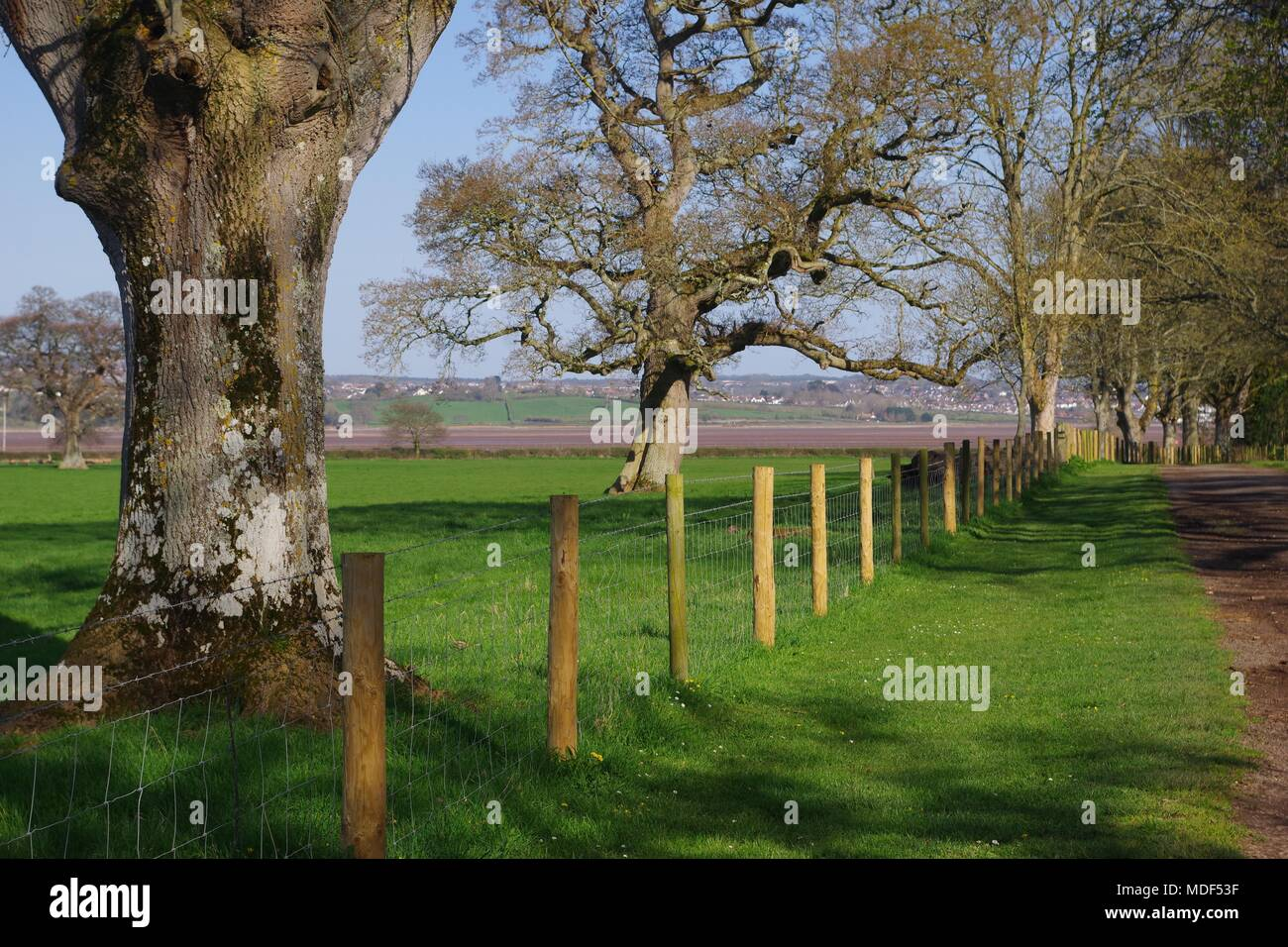 Mature Leafless English Oak Trees in a Vibrant Pasture Filed by a Wire Fence, Devon Farmland. Powderham Estate, Exeter, Devon, UK. April, 2018. - Stock Image