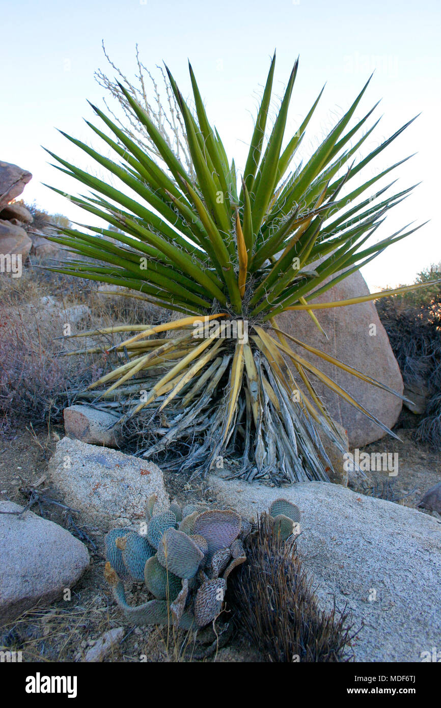 Rock Climb Joshua Tree Big Rocks Yucca Brevifolia Mojave Desert Joshua Tree National Park California Stock Photo