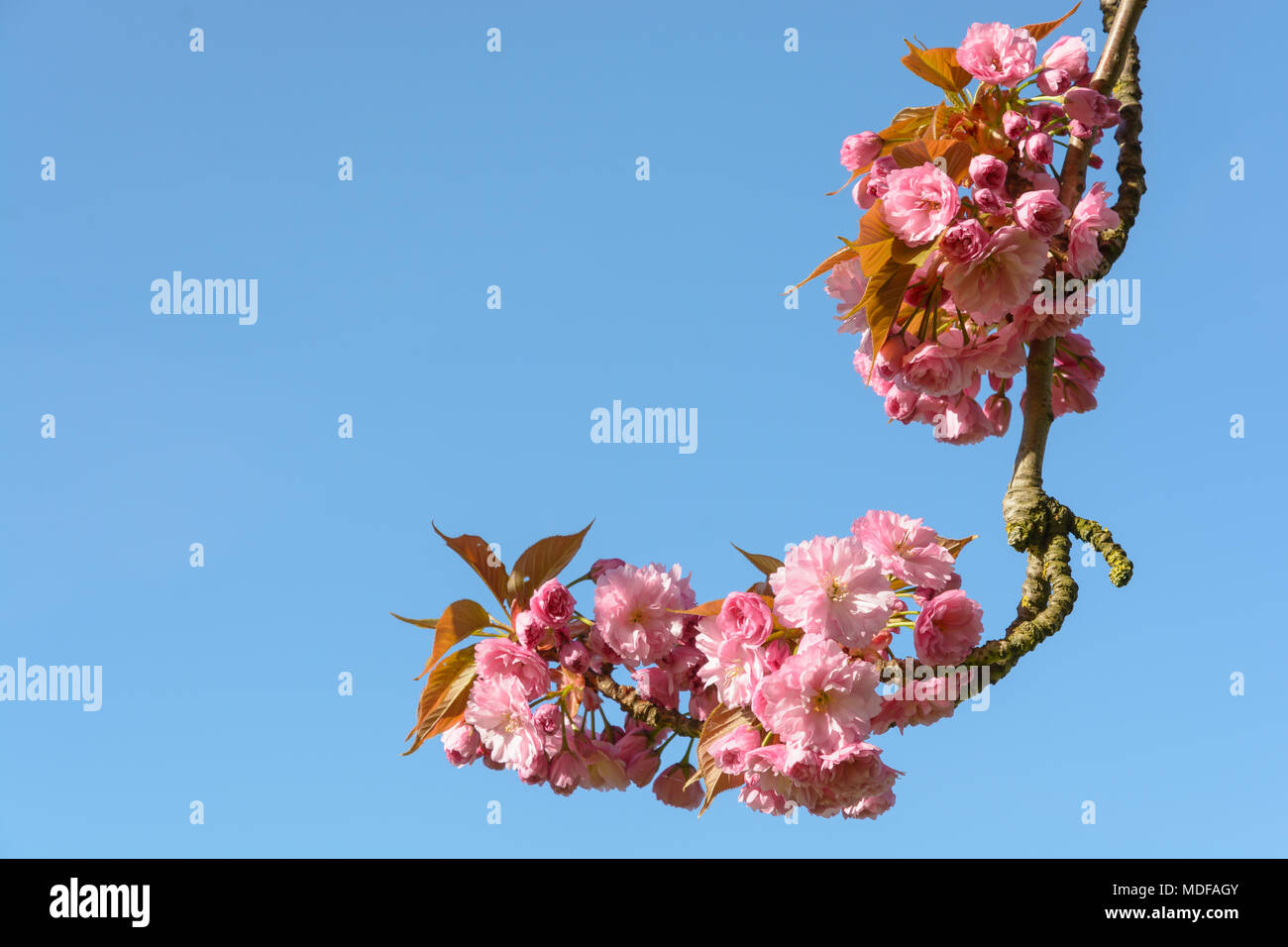 A Branch Of A Blossoming Japanese Cherry Tree With Clusters Of Pink