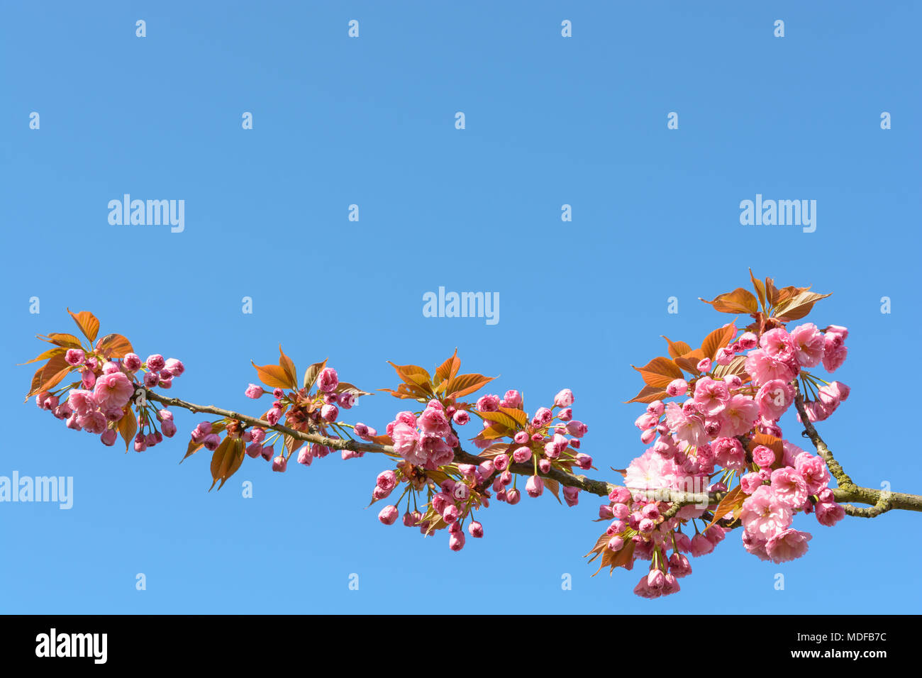 A branch of a blossoming japanese cherry tree with clusters of pink a branch of a blossoming japanese cherry tree with clusters of pink flowers against blue sky mightylinksfo