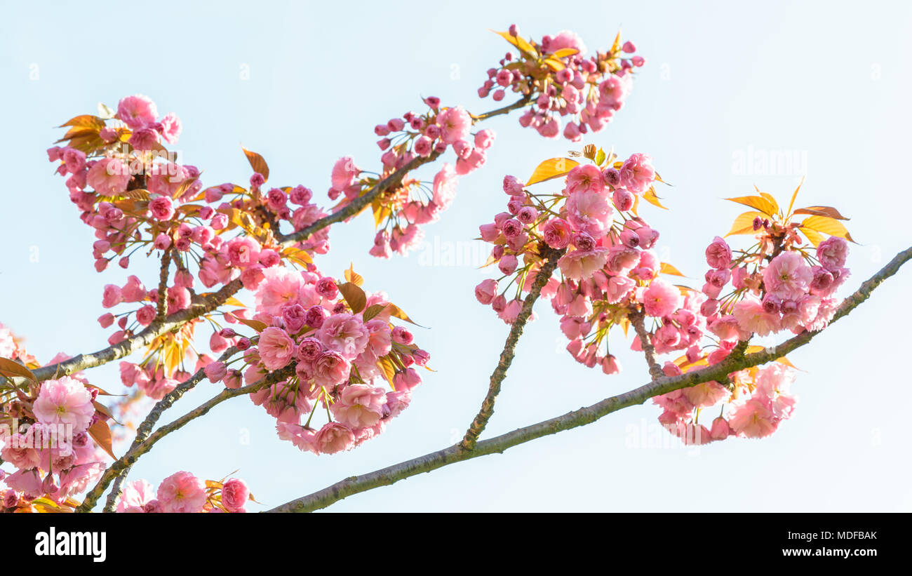Branches of a blossoming japanese cherry tree with clusters of pink branches of a blossoming japanese cherry tree with clusters of pink flowers against blue sky mightylinksfo