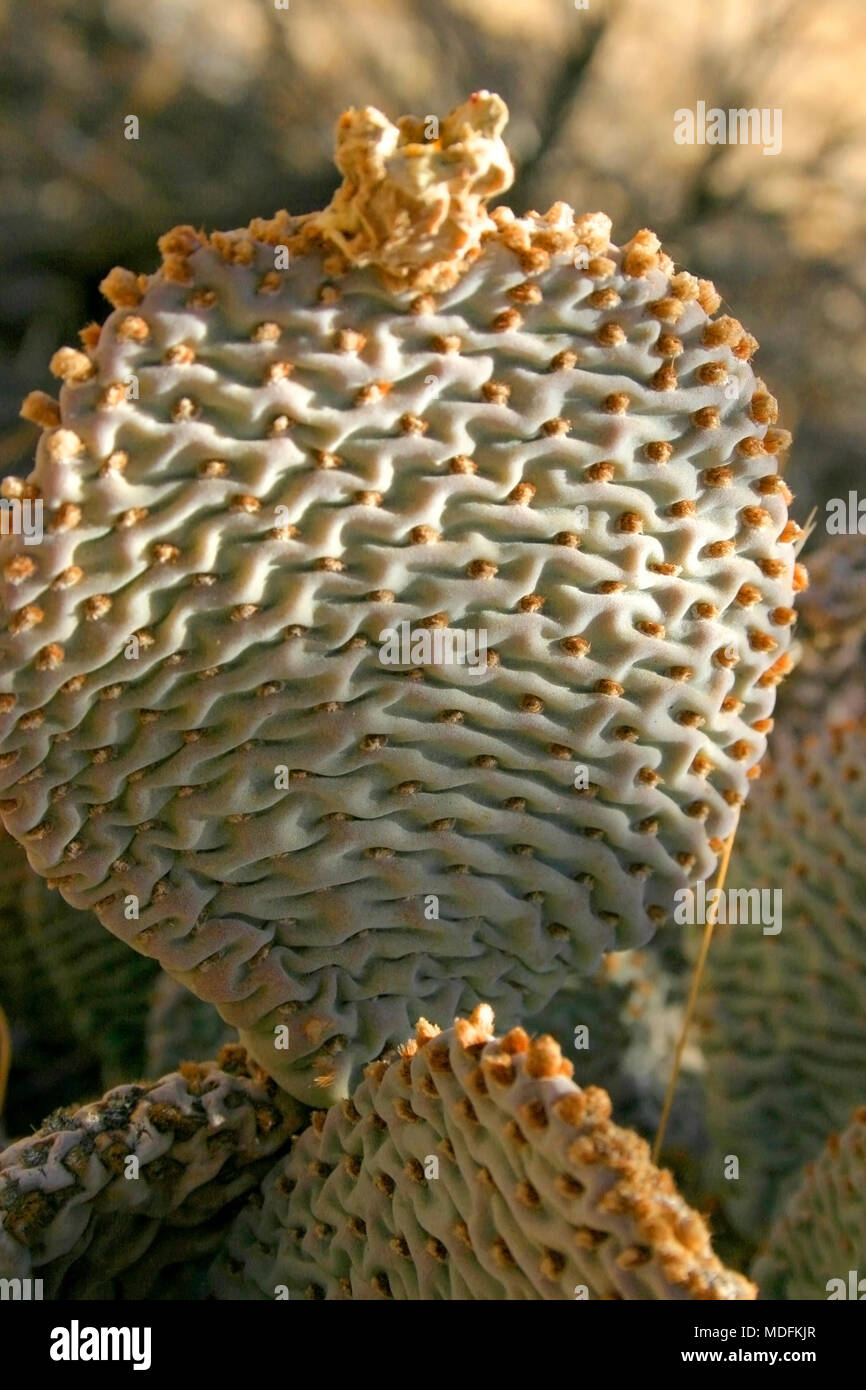 Chenille Prickly Pear Cactus, Opuntia aciculata. Mojave Desert Joshua Tree National Park Stock Photo