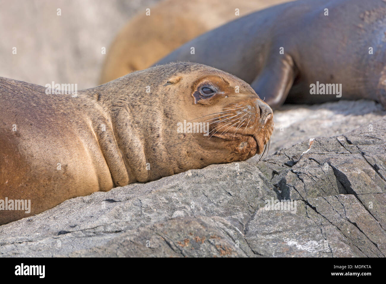 South American Sea Lion Close-up on Cape Horn in Tierra del Fuego, Chile - Stock Image