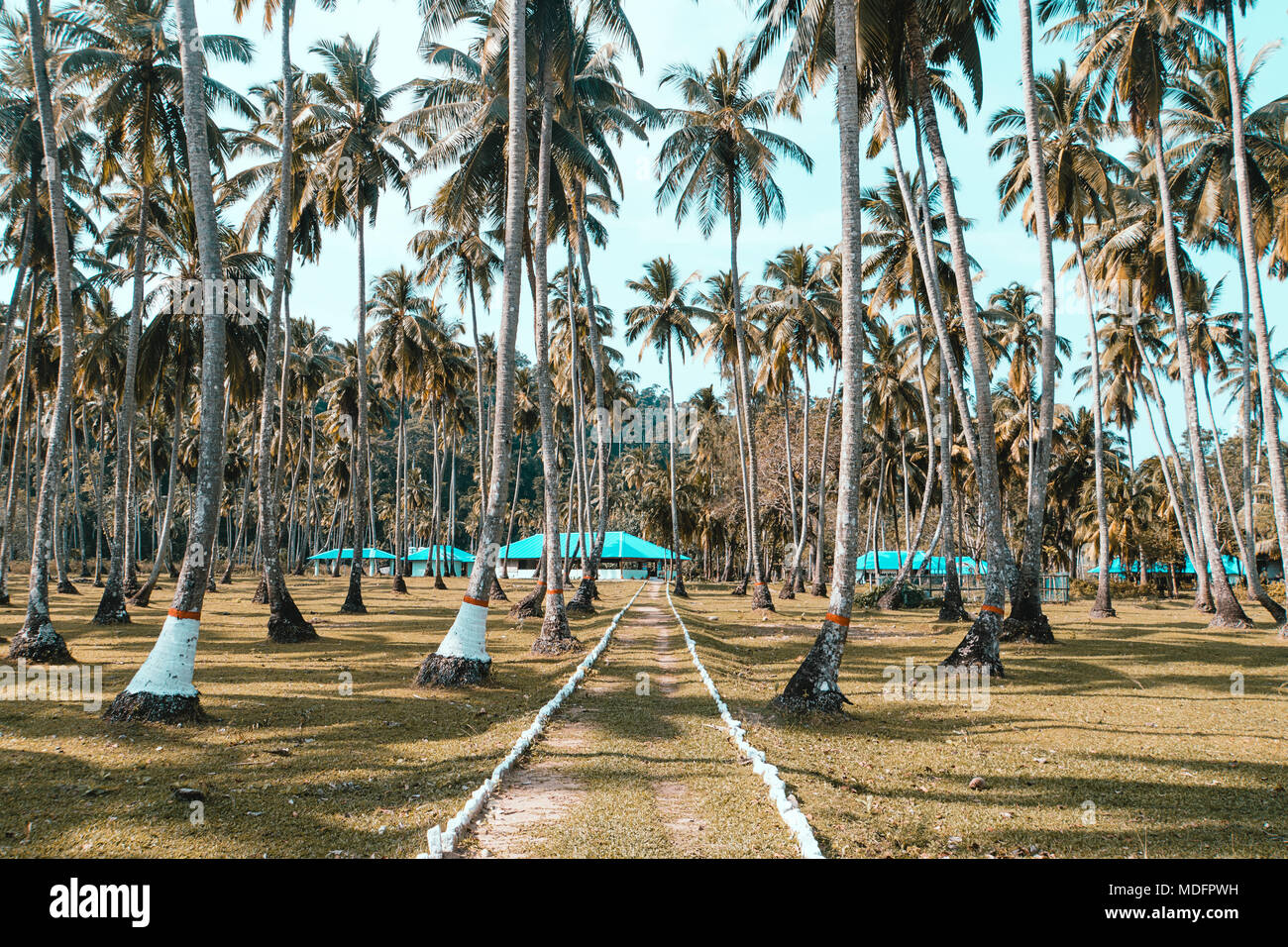 a path among tall coconut trees on the exotic tropical island of long. Andaman and Nicobar Islands. India. palm grove on the shore of the Atlantic Oce Stock Photo