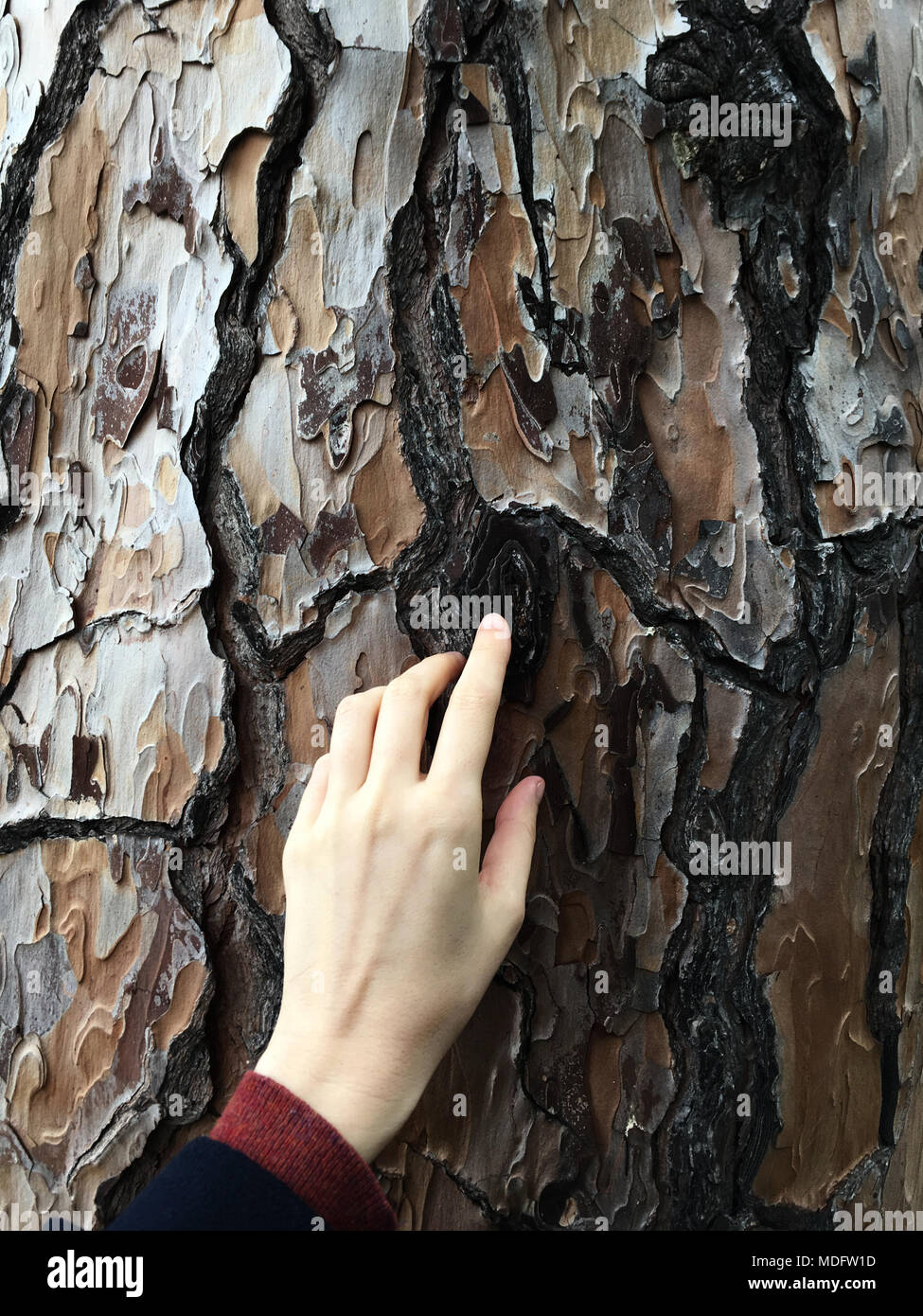 Woman's hand touching the bark of a tree - Stock Image