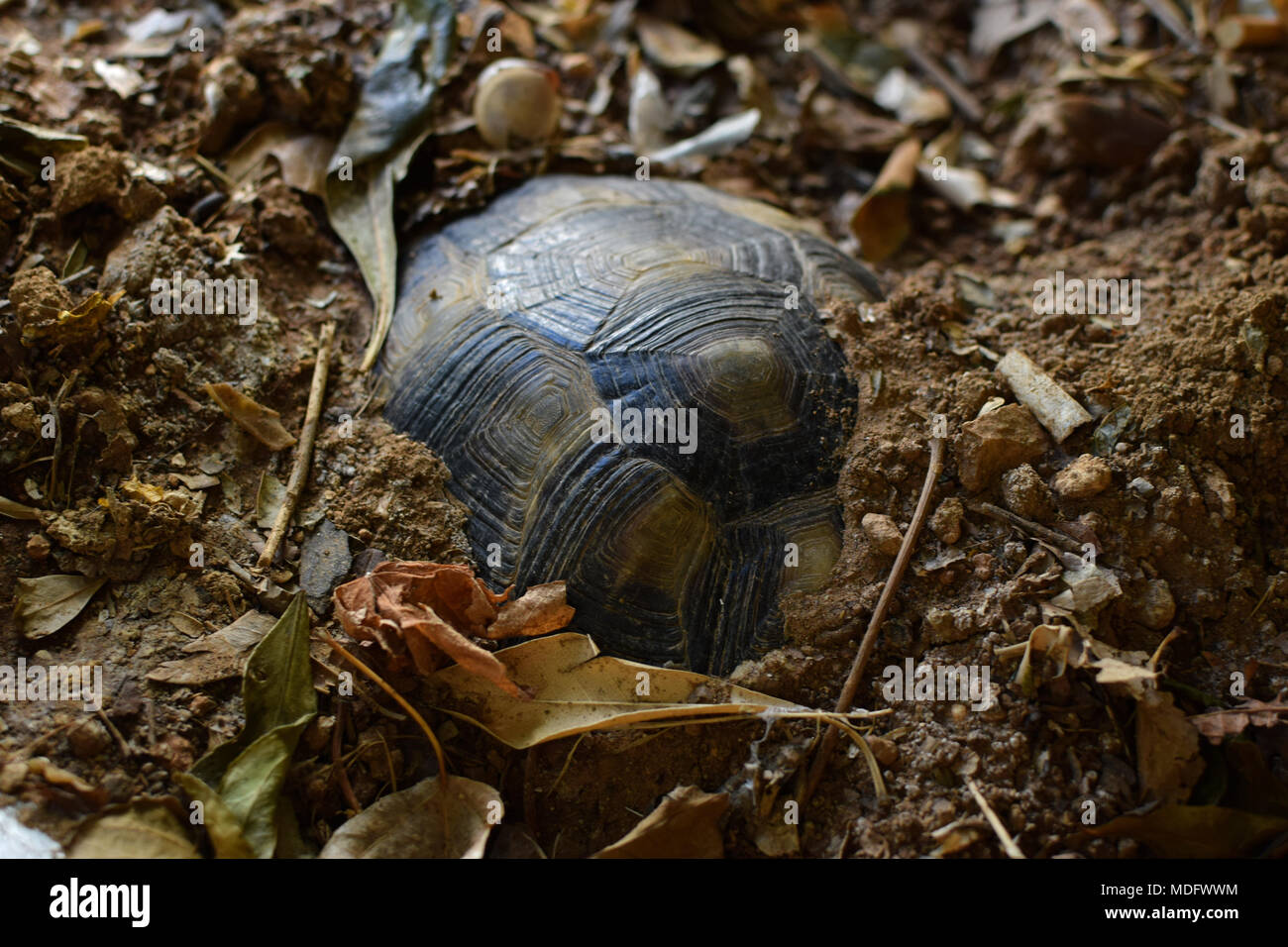 Turtle hibernating under soil on a cold winter day. Selective focus. - Stock Image