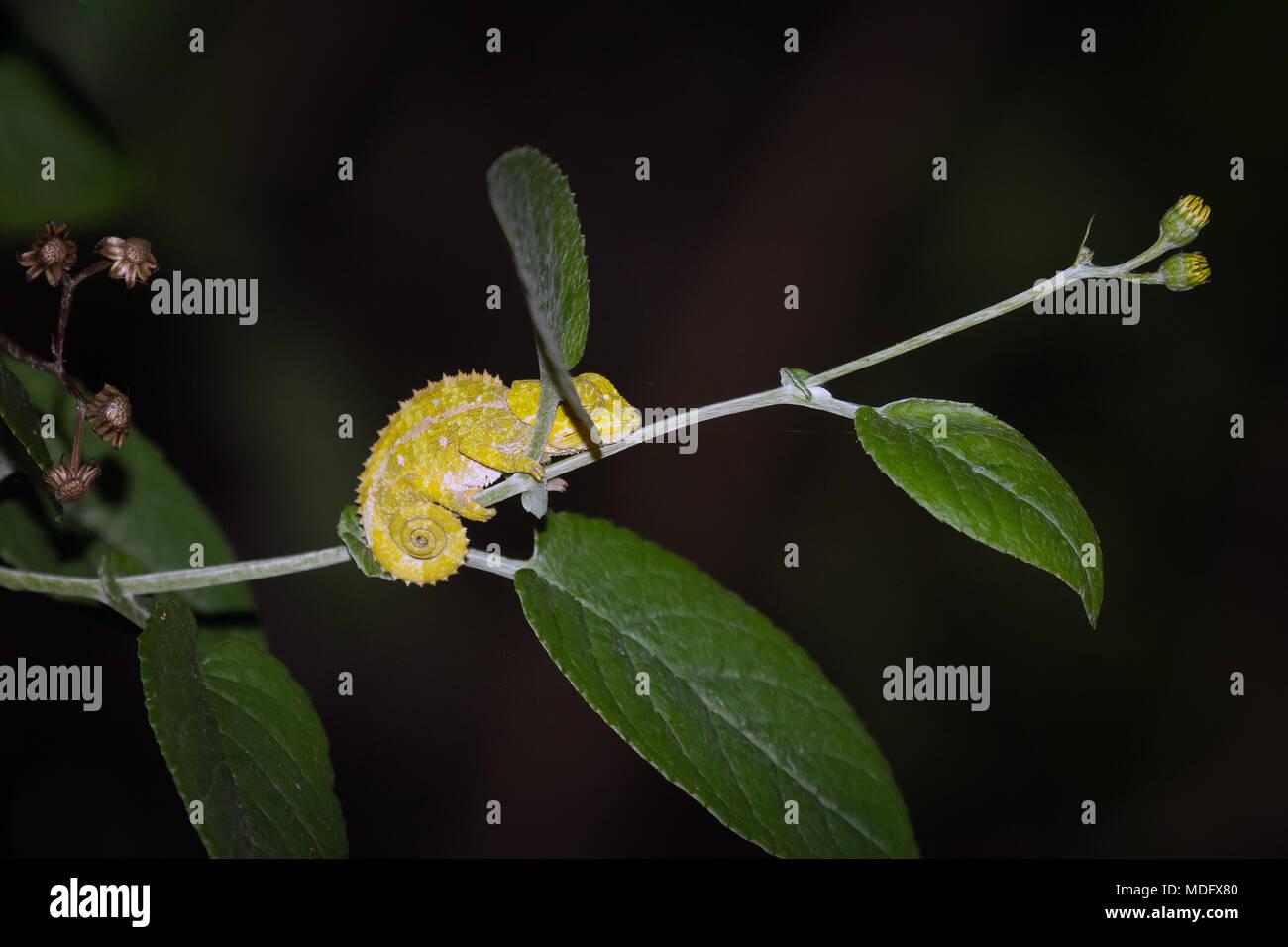 Nose-horned Chameleon (Calumma nasuta), Ranomafana N.P. Madagascar. - Stock Image