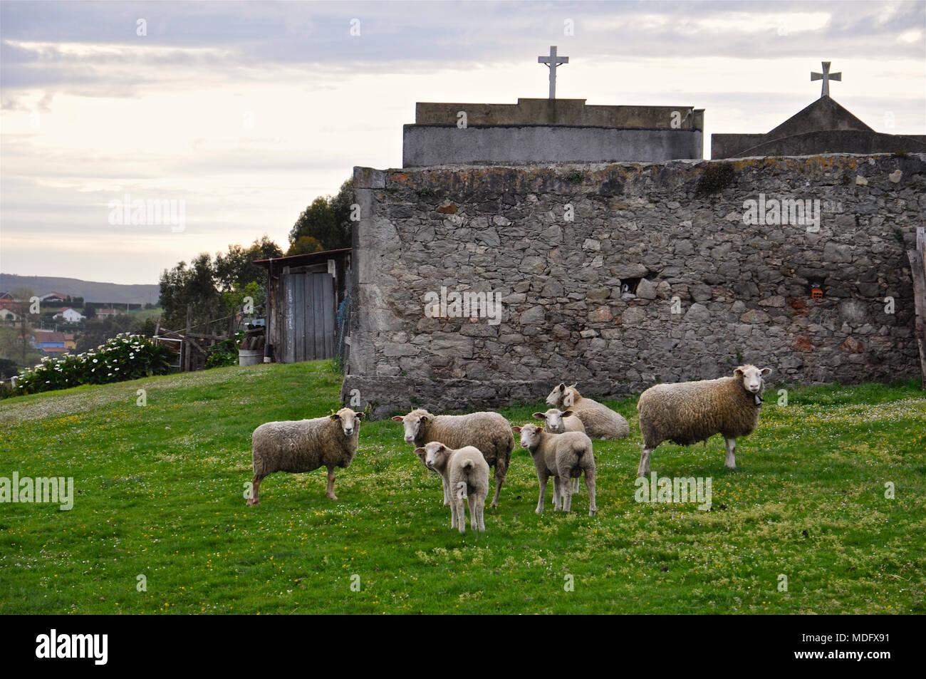 Flock of sheep in a green field next to the cemetery in San Martín de Laspra (Castrillón, Asturias, Spain) - Stock Image