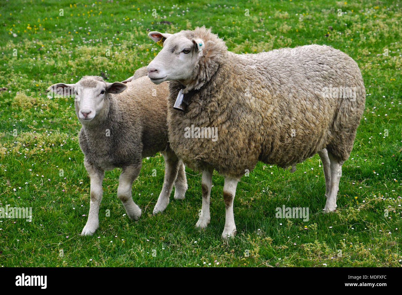Sheep with a lamb in a green field in San Martín de Laspra (Castrillón, Asturias, Spain) - Stock Image