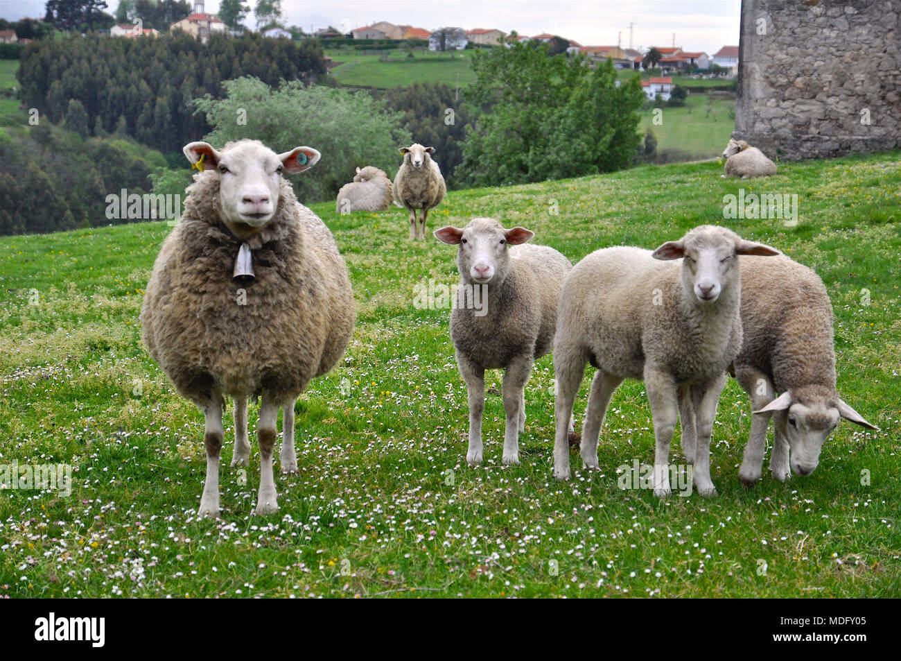 Flock of sheep in a green field in San Martín de Laspra (Castrillón, Asturias, Spain) - Stock Image