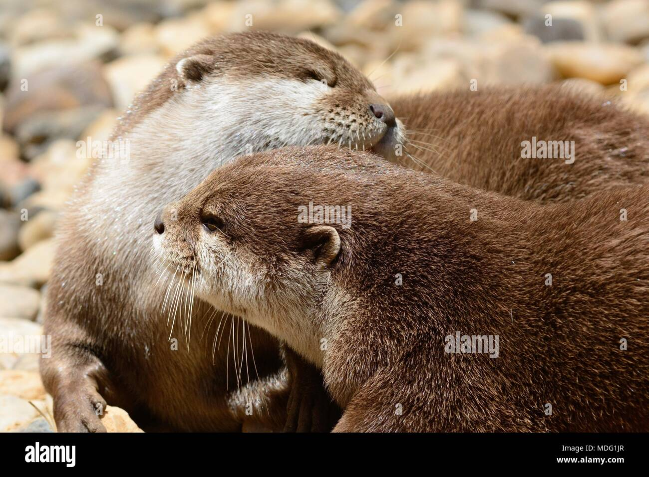 Portrait of two otters cuddling - Stock Image