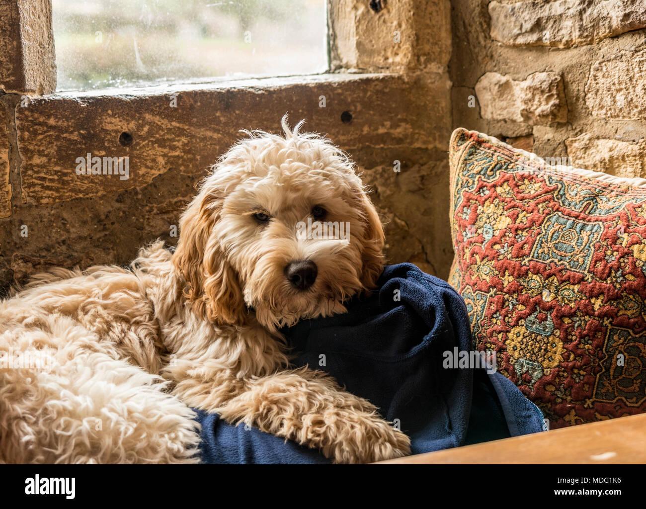 Cockerpoo dog lying in window seat Stock Photo