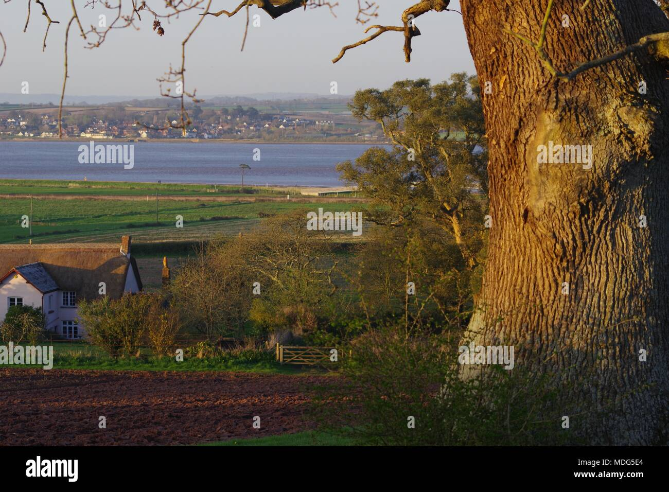 Mighty English Oak TreeTrunk (Quercus robur) by a Country Path through Devon Farmland. Exe Estuary on Distance. Powderham Castle, Devon, UK. - Stock Image