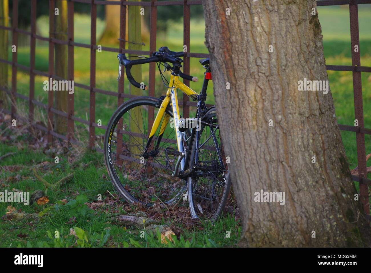 Yellow Racing Bike by an Iron Victorian Farm Fence and English Oak Tree Trunk. Powderham Estate, Exeter, Devon, UK. April, 2018. - Stock Image
