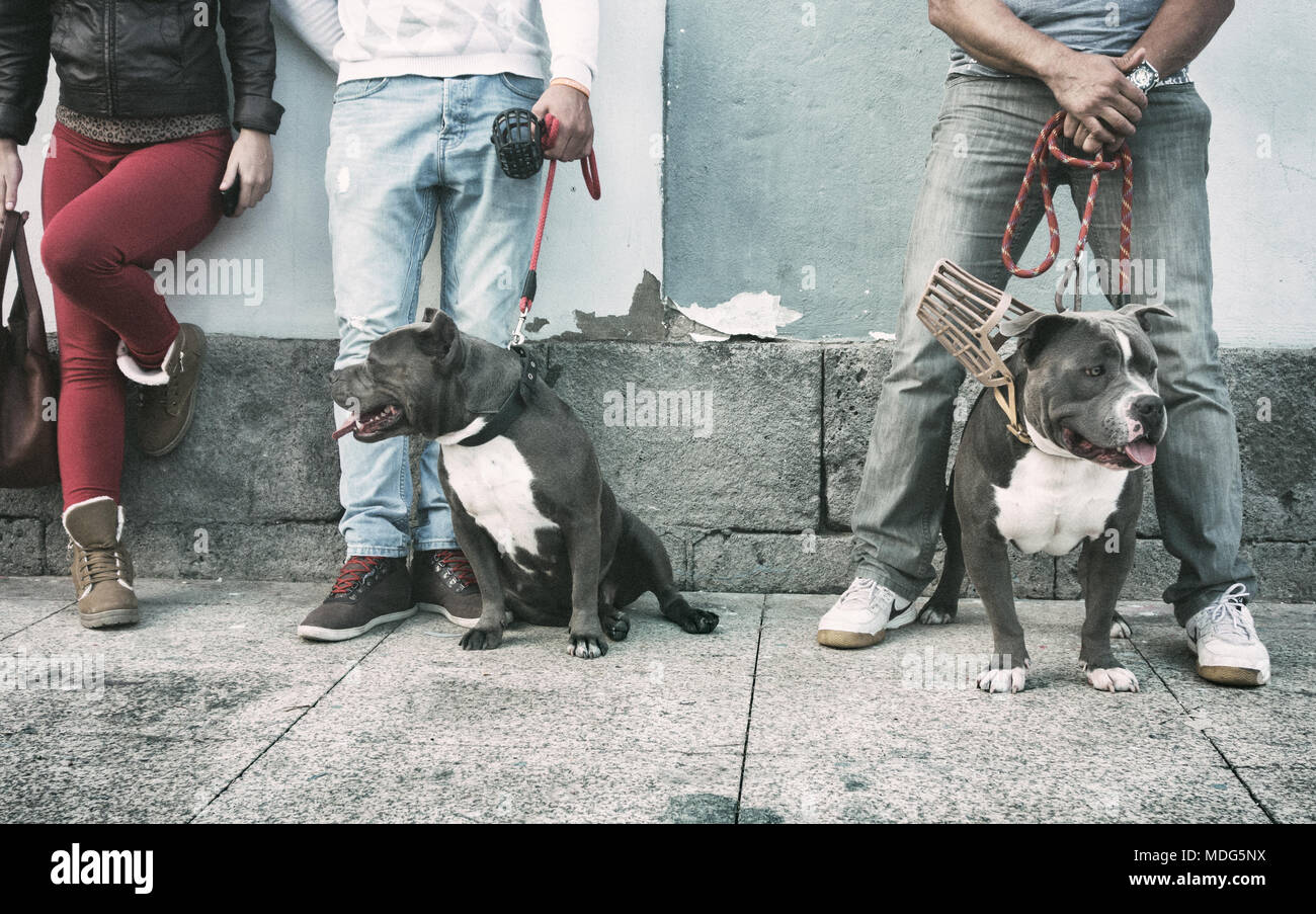 American Bully breed dogs - Stock Image