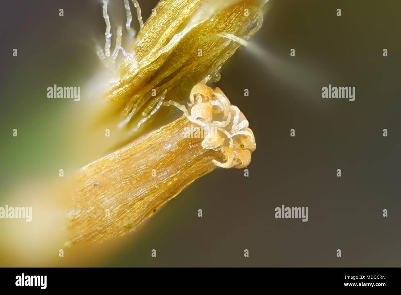 Spore capsule of lanceolateleaf rock moss,  Orthotrichum, speciosum,  a microscope image - Stock Image