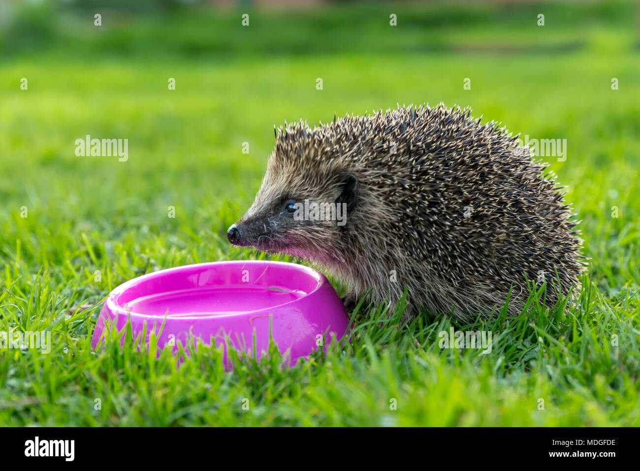 Hedgehog, wild, native European hedgehog drinking water from a pink bowl on green grass.  Horizontal, landscape - Stock Image